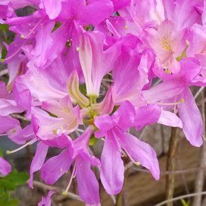 azalee orchidée