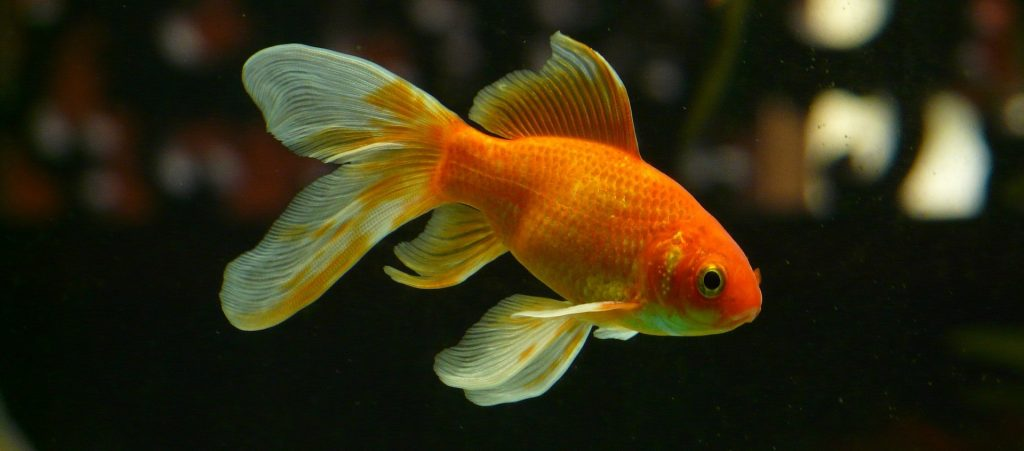 poisson rouge esperance