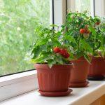 tomates en intérieur